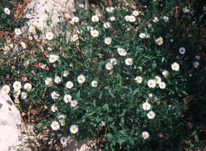 Plant photo of: Erigeron karvinskianus 'Profusion'