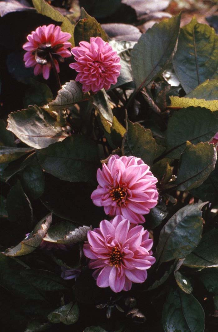 Plant photo of: Dahlia merckii