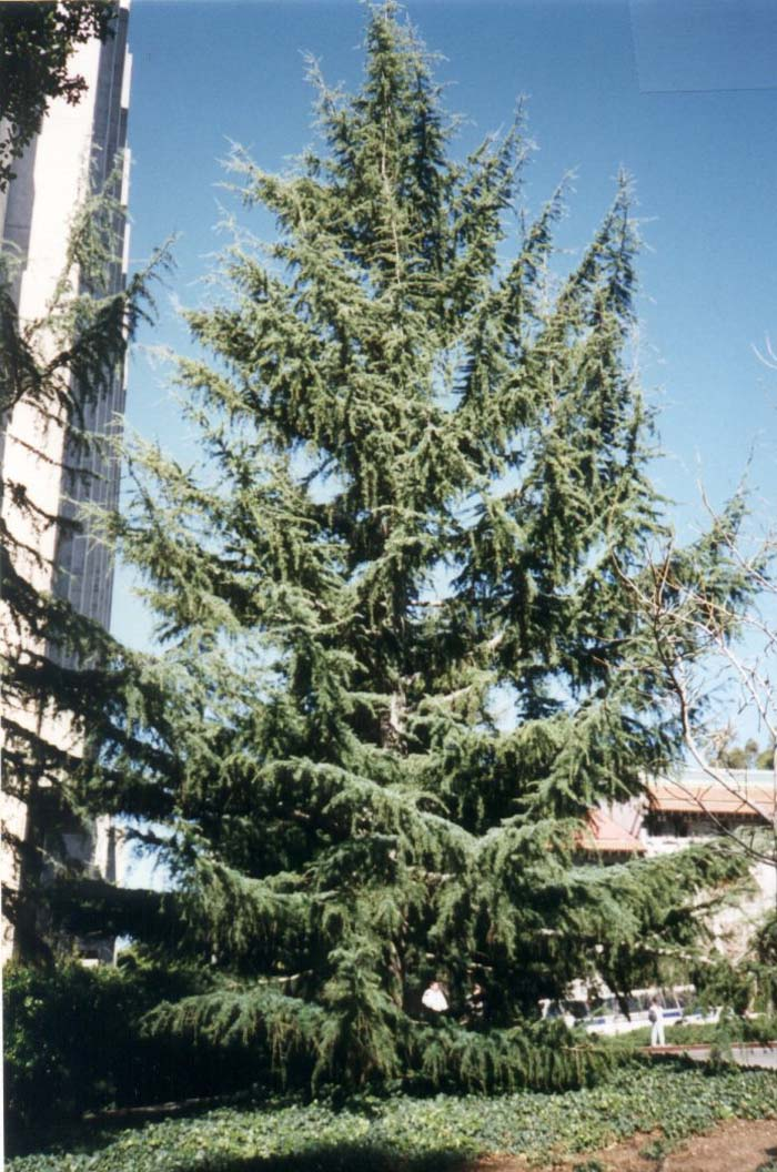 Plant photo of: Cedrus deodara