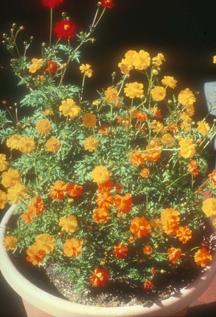 Plant photo of: Cosmos sulphureus 'Ladybird Mix'