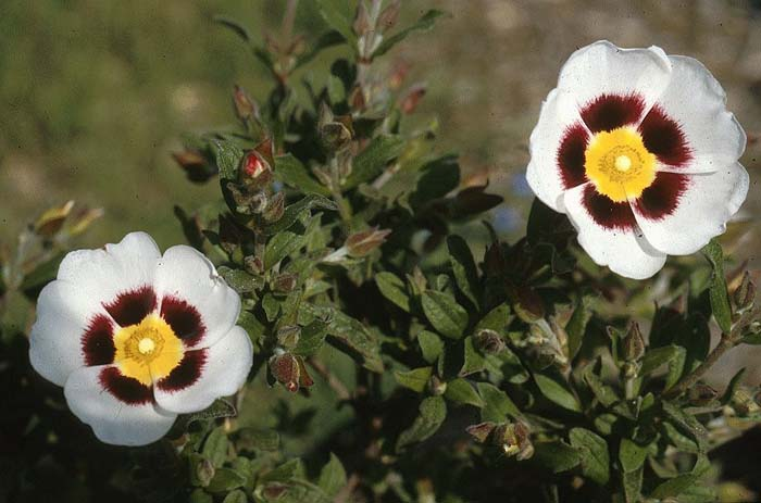 Plant photo of: Halimiocistus wintonensis