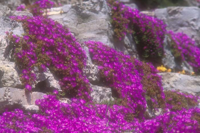 Plant photo of: Lampranthus productus