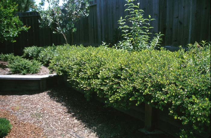 Plant photo of: Arctostaphylos densiflora 'Emerald Carpe