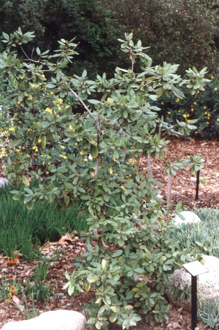 Plant photo of: Lithocarpus densiflorus