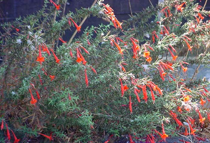 Plant photo of: Zauschneria californica
