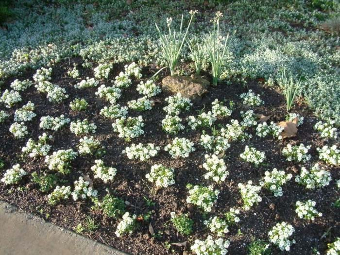 Plant photo of: Alyssum saxatile