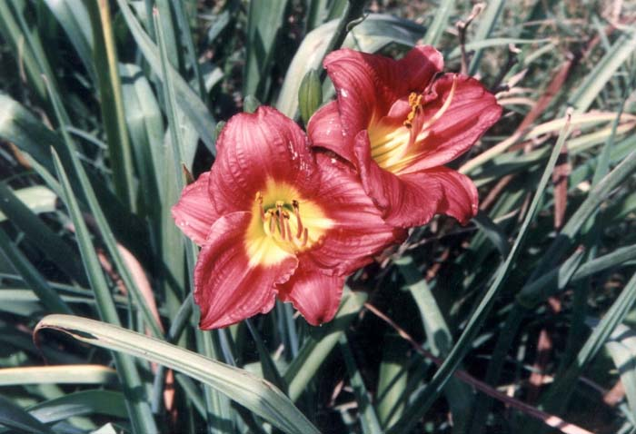 Plant photo of: Hemerocallis 'Apple Annie'