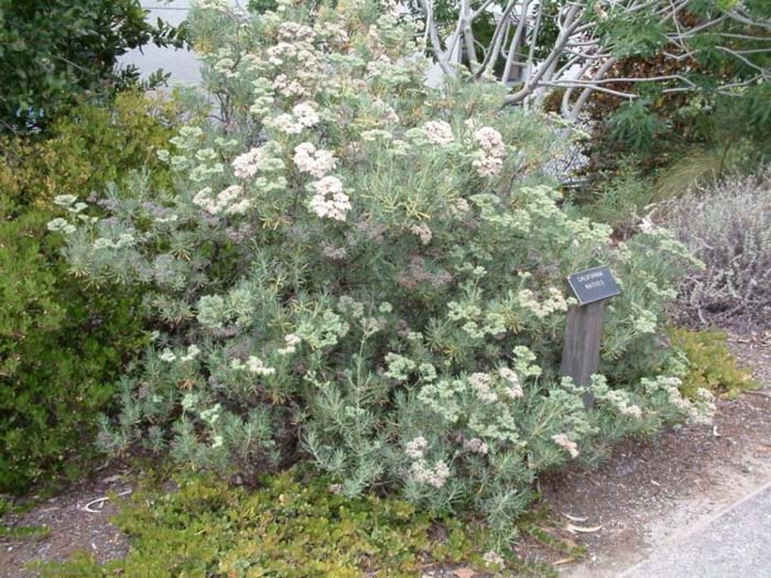 Plant photo of: Eriogonum arborescens