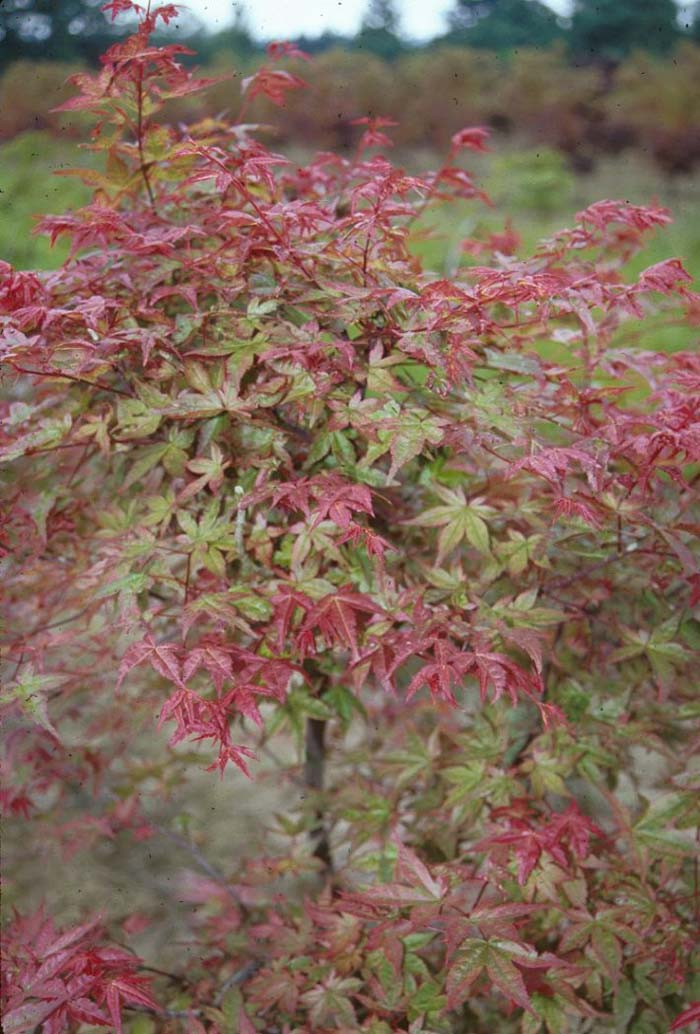 Plant photo of: Acer palmatum 'Shindeshojo'