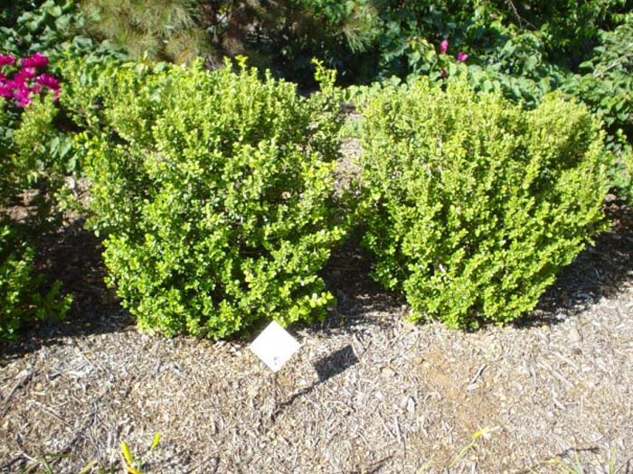 Plant photo of: Buxus japonica