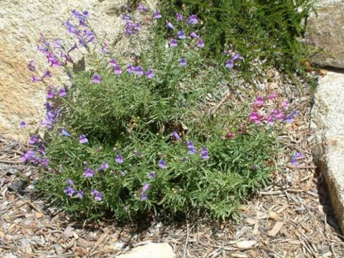Plant photo of: Penstemon heterophyllus