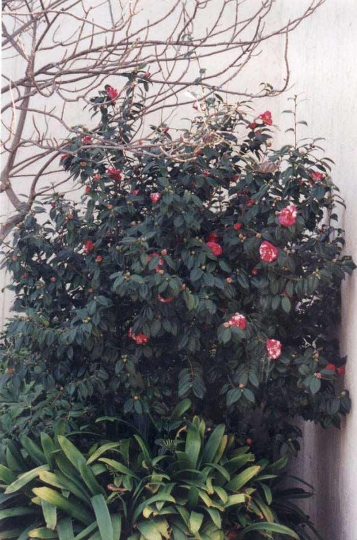 Plant photo of: Camellia japonica