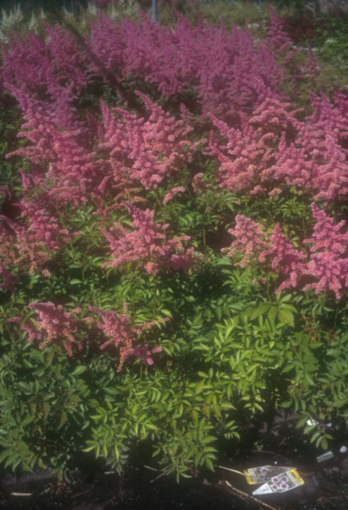 Plant photo of: Astilbe 'Rhineland'