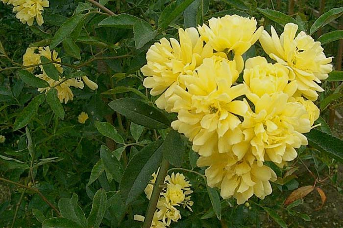 Plant photo of: Rosa banksiae lutea