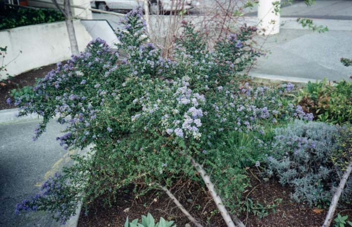 Plant photo of: Ceanothus 'Dark Star'