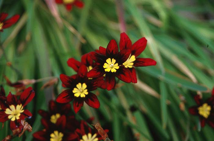 Plant photo of: Sparaxis tricolor