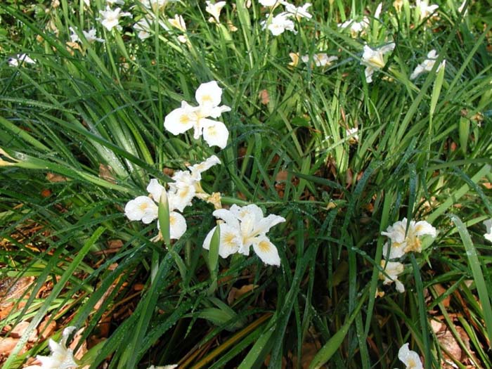 Plant photo of: Iris Pacific Coast Hybrid 'Canyon Snow'