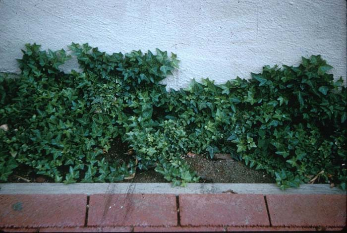 Plant photo of: Hedera helix 'Hahnsii'
