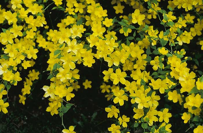 Plant photo of: Kerria japonica