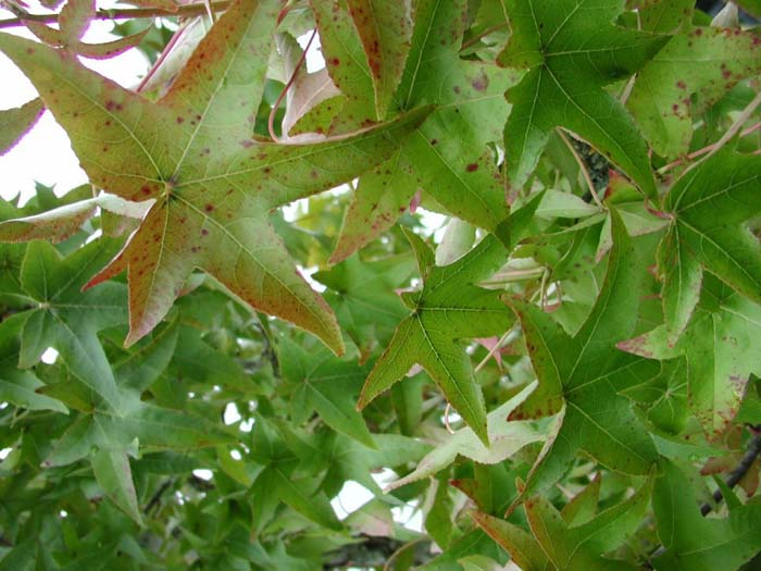 Plant photo of: Liquidambar styraciflua
