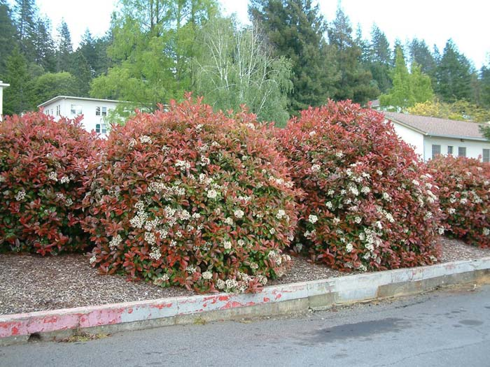 Plant photo of: Photinia x fraseri