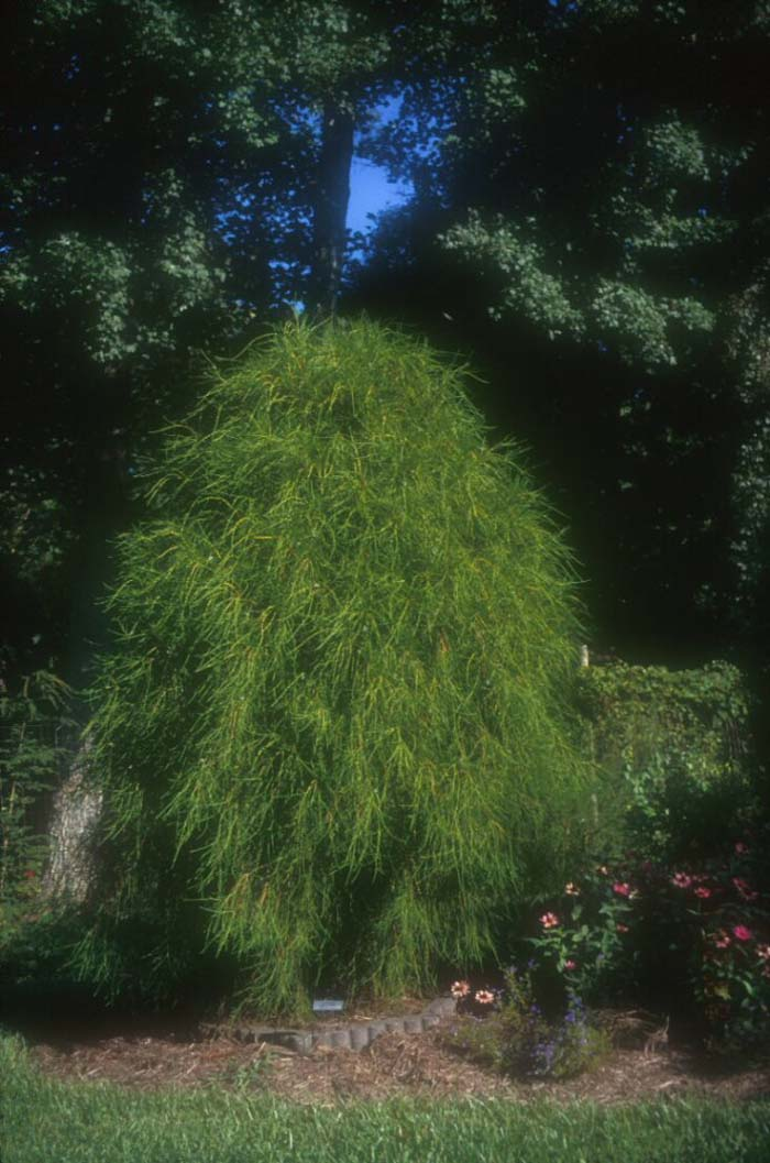 Plant photo of: Thuja orientalis