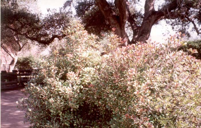 Plant photo of: Ternstroemia gymnanthera
