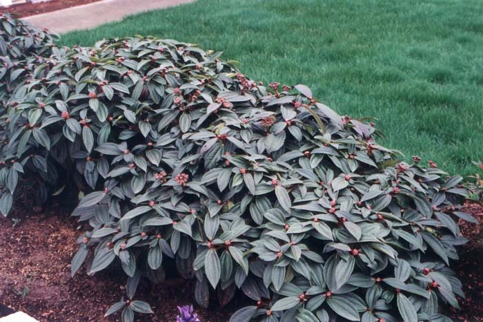 Plant photo of: Viburnum davidii