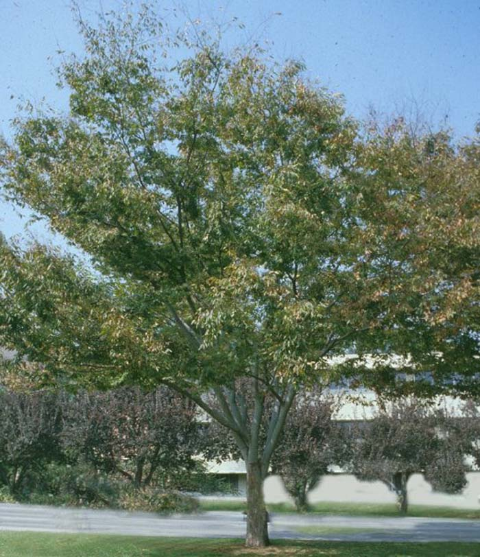 Plant photo of: Zelkova serrata