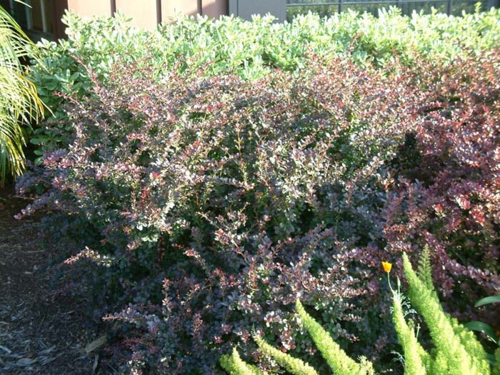 Plant photo of: Berberis thunbergii 'Atropurpurea Nana'