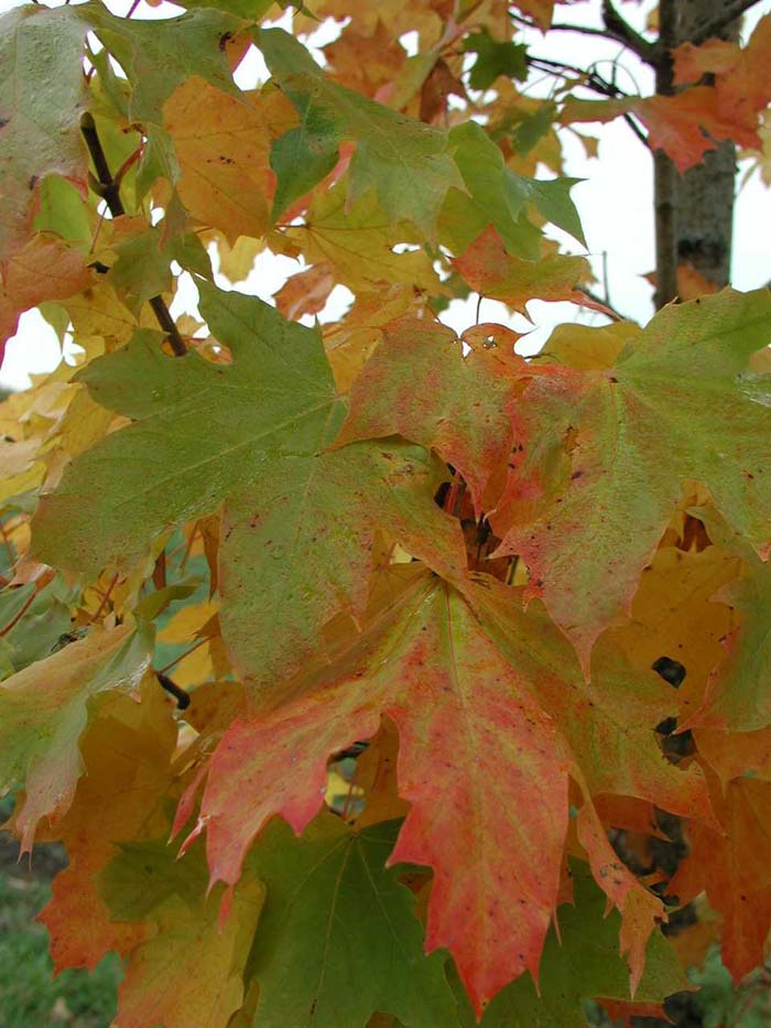 Plant photo of: Acer platanoides 'Columnare'
