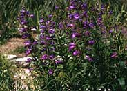 Midnight Border Penstemon