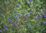 Blue Leadwort