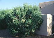 Hopseed Bush