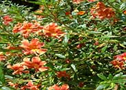 Red Monkey Flower