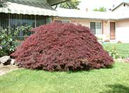 Crimson Queen Maple