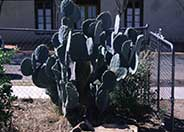 Silver Dollar Prickly Pear