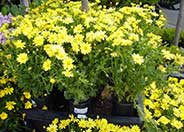 Chrysanthemum fru.'Dwarf Yellow'