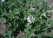 Chaparral Mallow