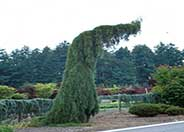 Weeping Sequoia