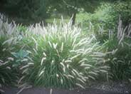 Oriental Fountain Grass