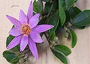 Lavender Starflower
