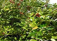 Burford Chinese Holly