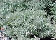 Silver Wormwood