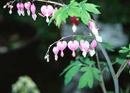 Japanese Bleeding Heart