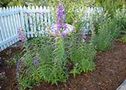 Border Penstemon