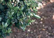 Wax Leaf Privet