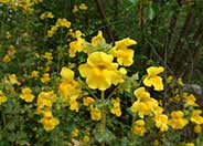Streamside Monkey Flower